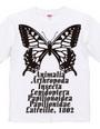 Swallowtail_B