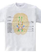 脳神経12対の図