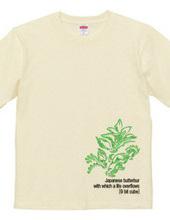 Japanese butterbur
