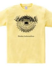 メガ ハリセンボン(Diodon holocanthus)