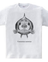 メガ ピンポンパール(Carassius auratus)
