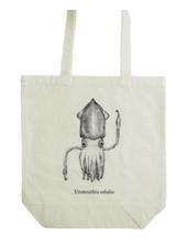 ケンサキイカ (Uroteuthis edulis)